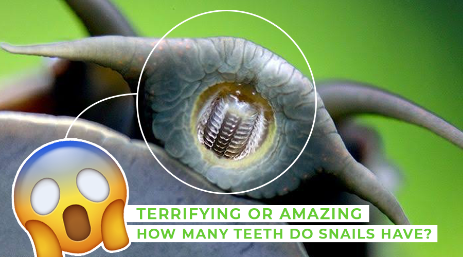 how many teeth do snails have
